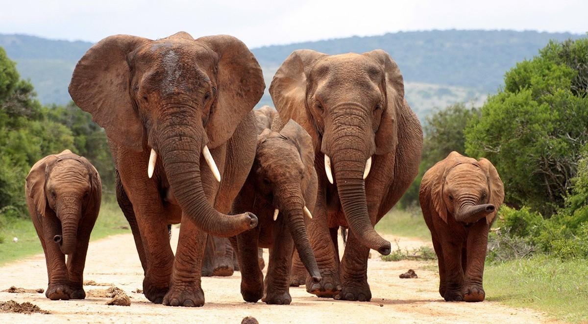 photodune-2076176-herd-of-elephants-head-on-l